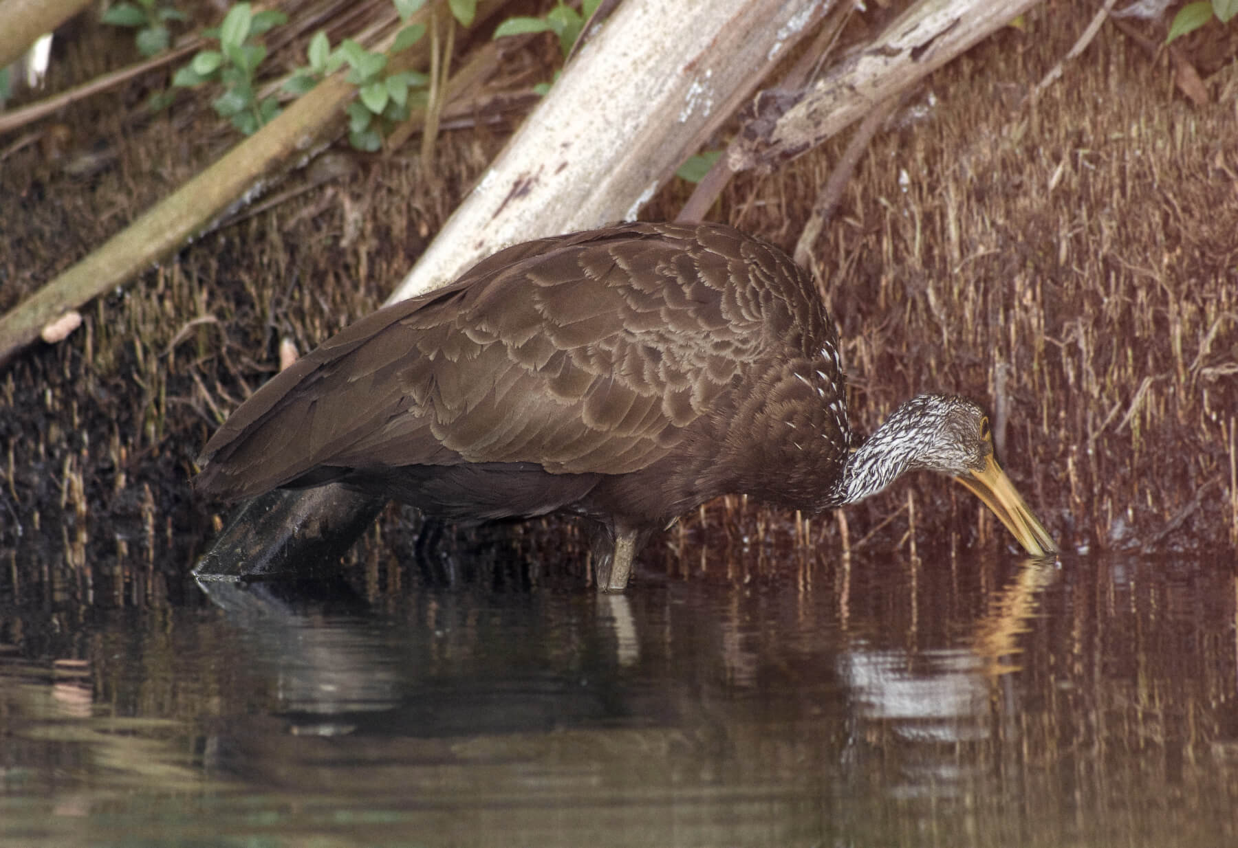 A big brown bird with a speckled head and a long yellow beak, digging for fish in the water
