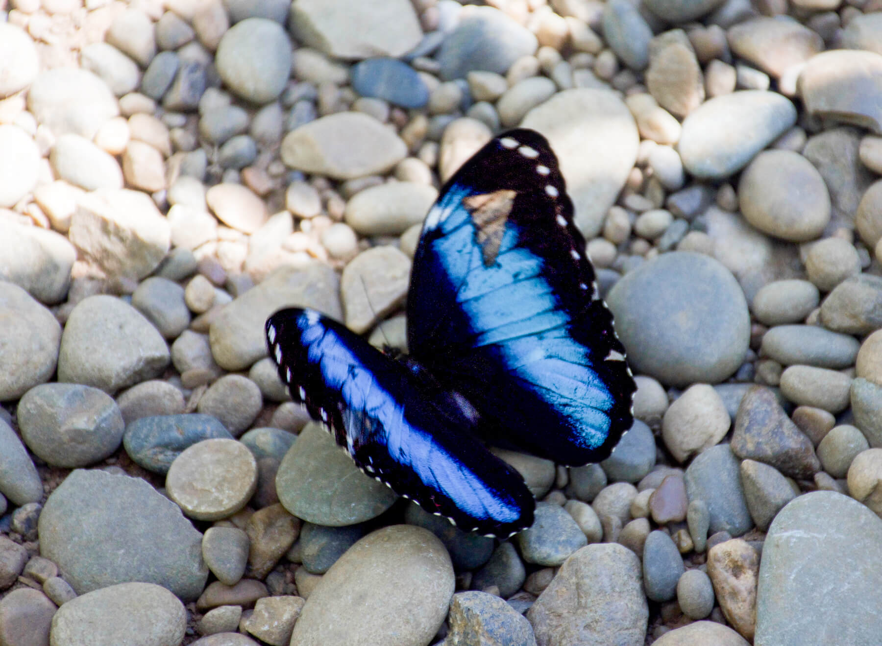 A blue butterfly in the Amazon Rainforest