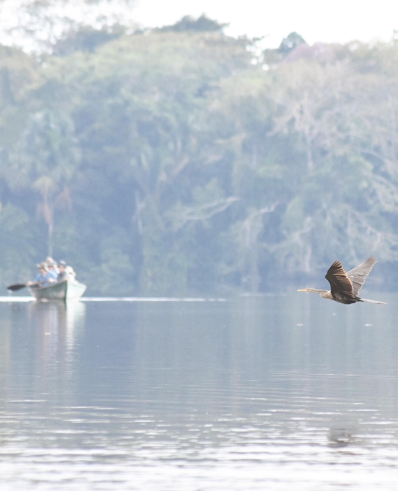 A brown herron bird caught mid-flight, with a canoe full of tourists in the background