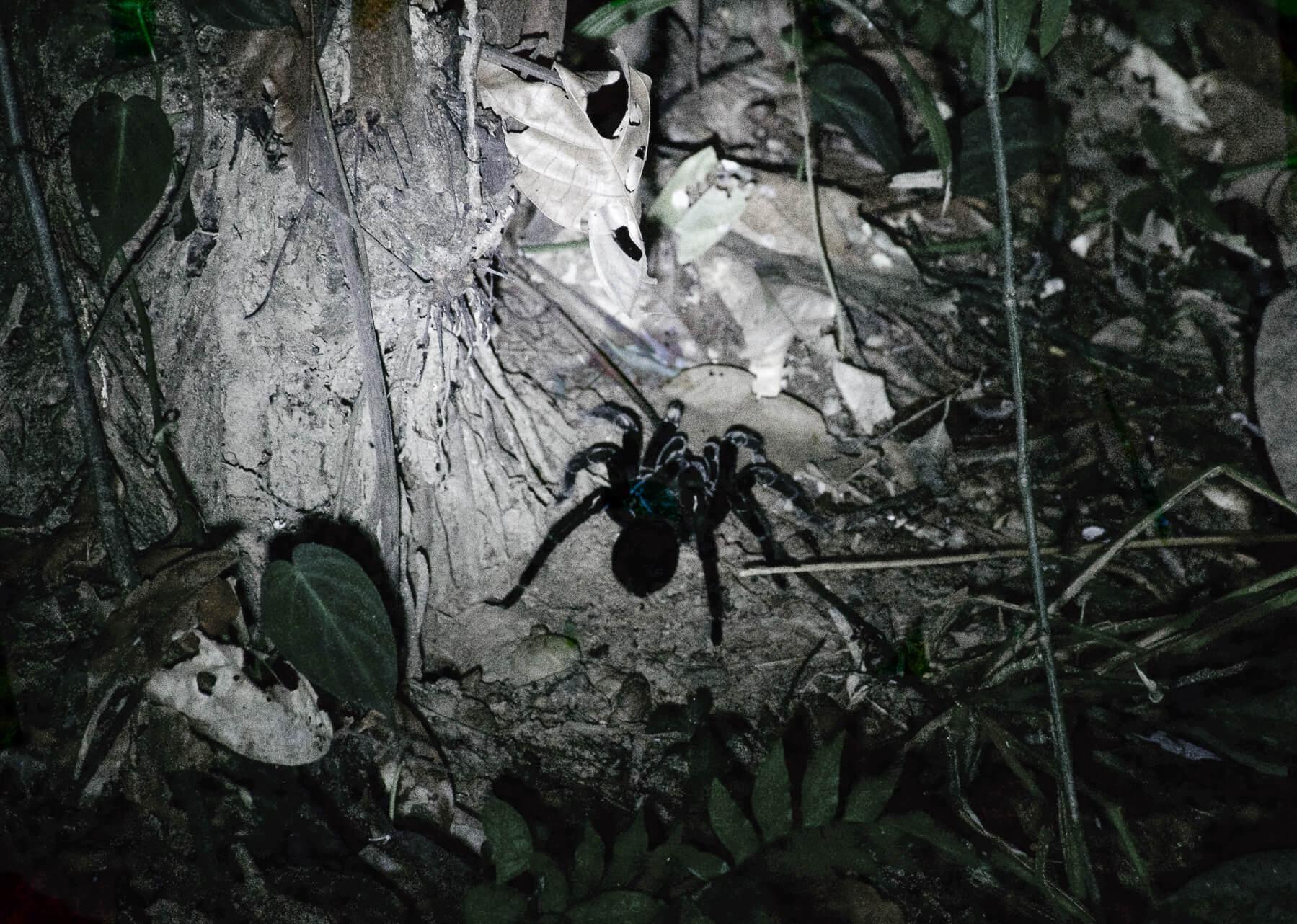 A huge black Chicken Tarantula next to a tree trunk in the dark