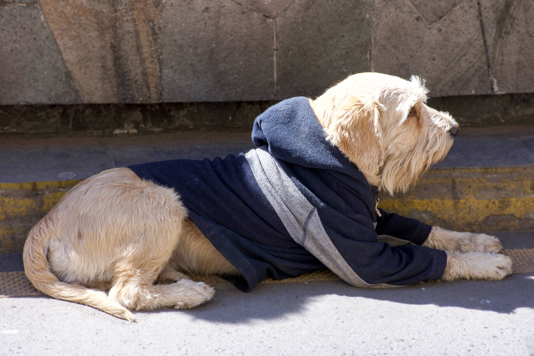 Side profile of light brown dog wearing a navy hooded jumper