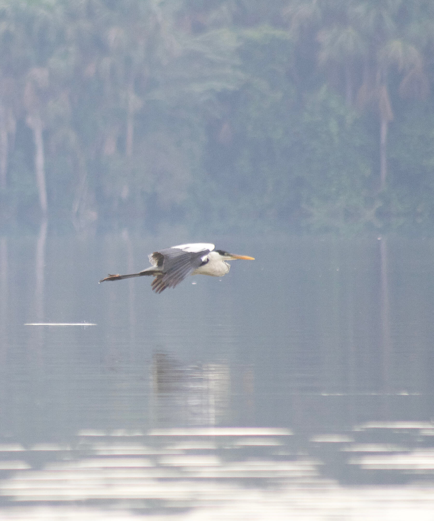 A herron flying low above the water of Lake Sandoval