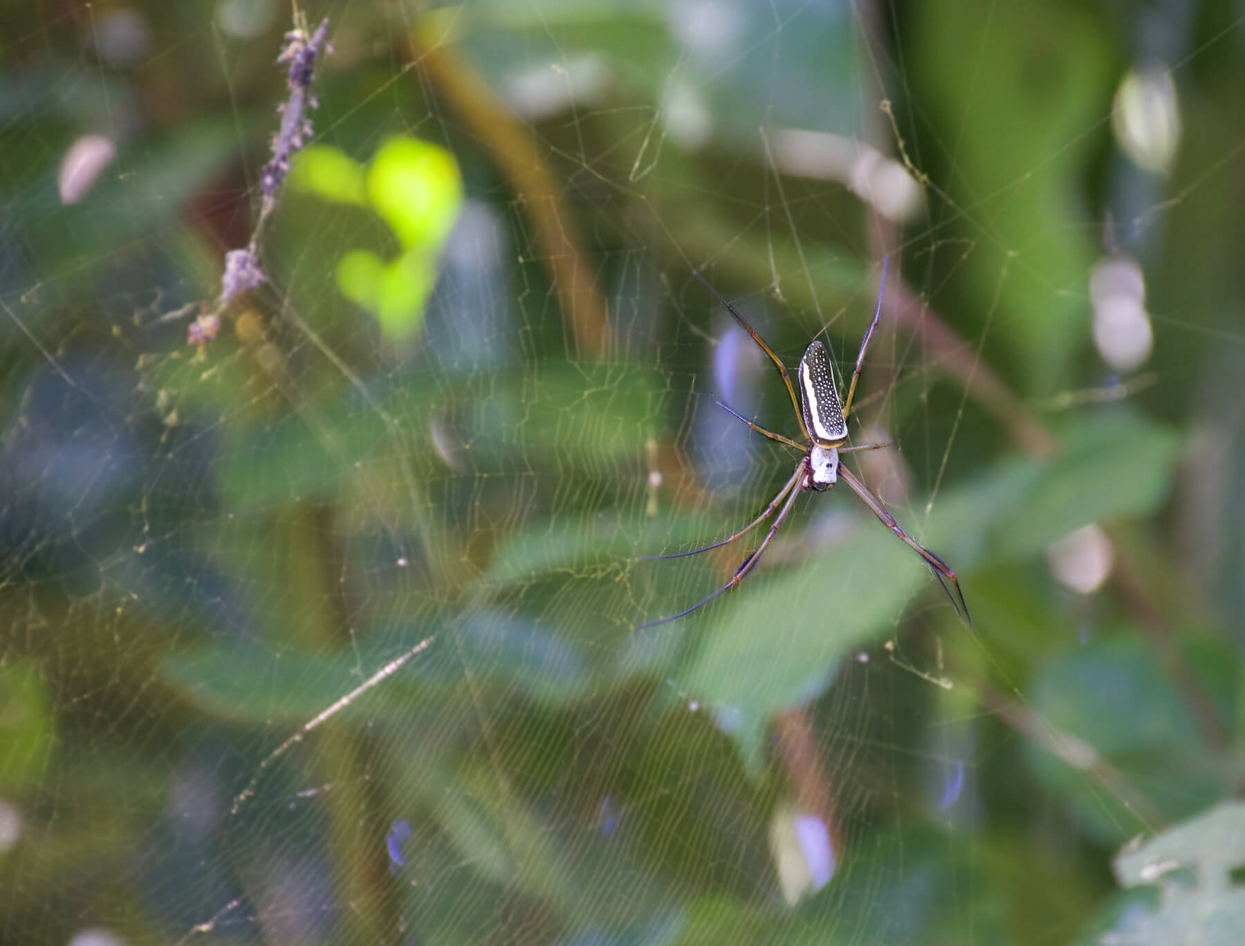 "A ""Golden Silk"" spider on its web during with a green bush behind it"