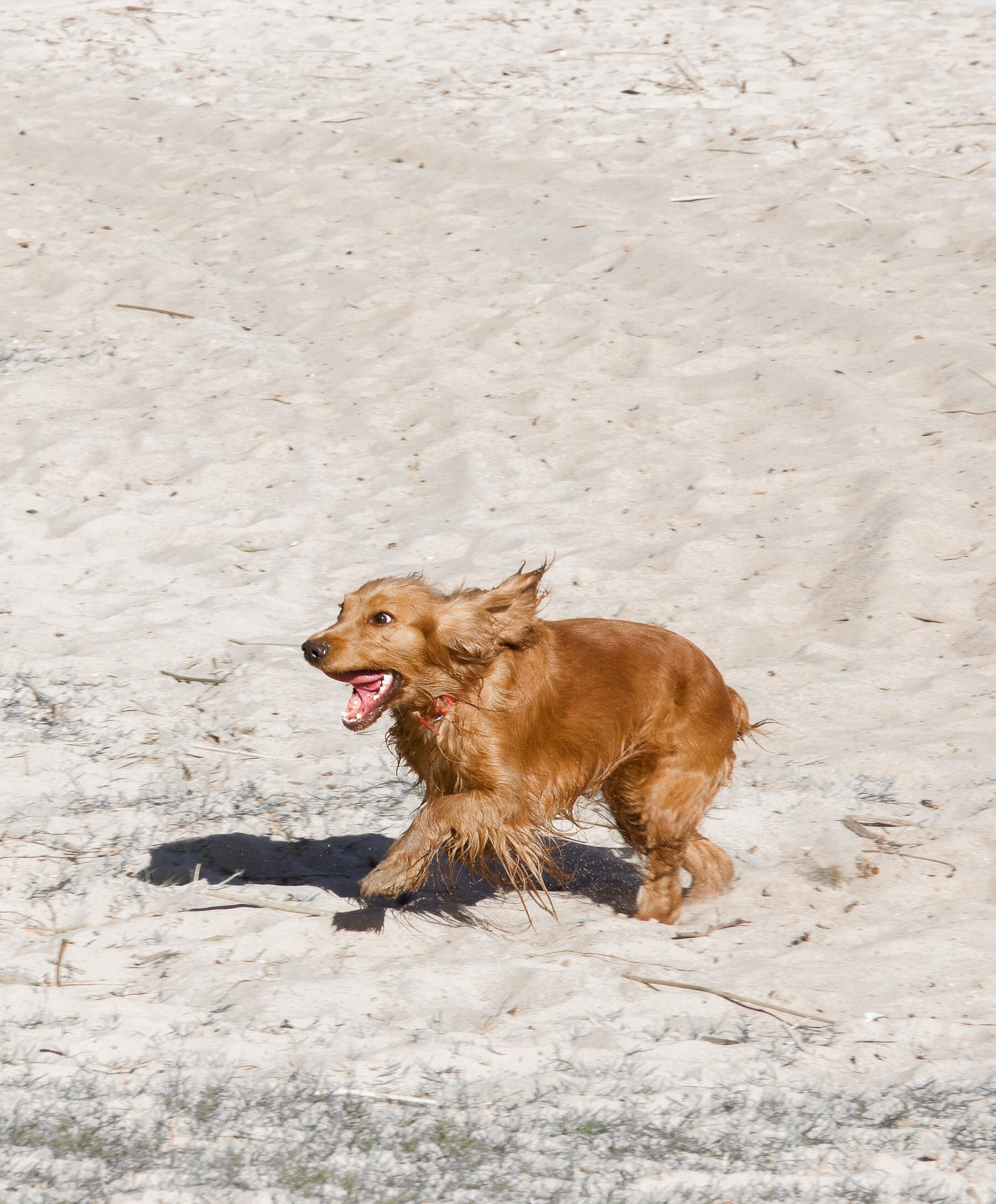 A brown, spanial dog running along the beach with mouth open and ears flapping