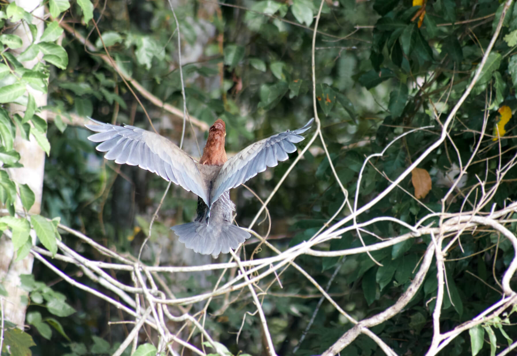 The back of an bird with an orange head and black wings as it is about to land on a branch