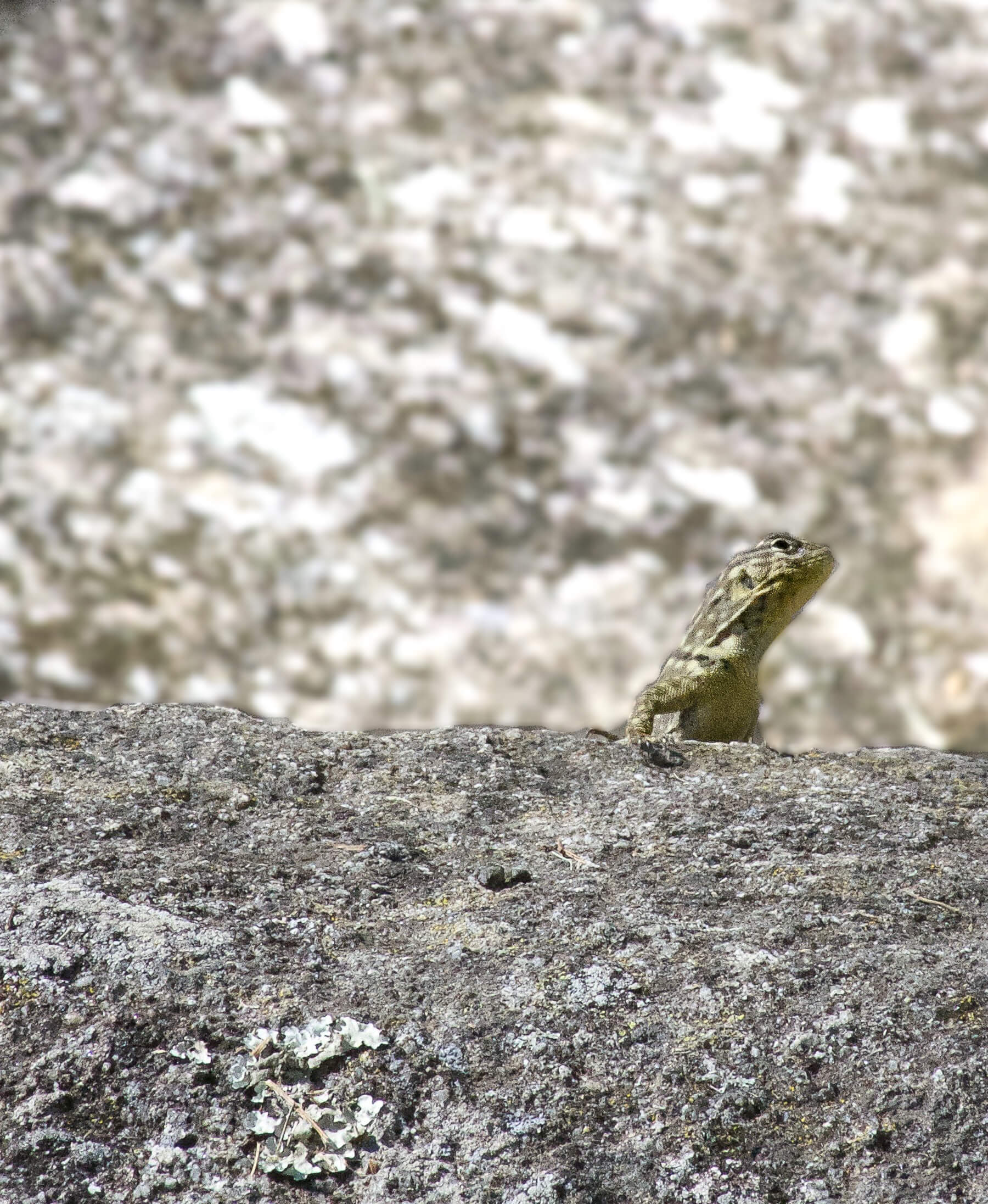 A small brownish lizard peering over a rock, almost camouflaging into the background