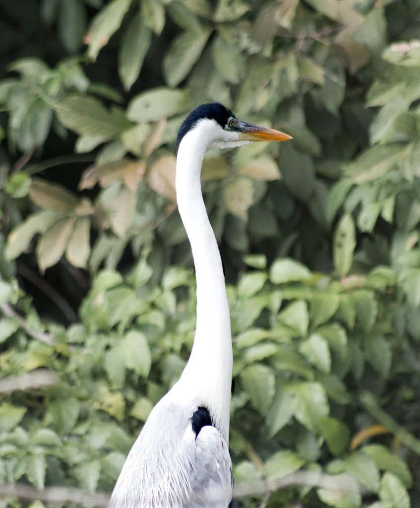 A tall white herron with a black head looking away from the camera with the lush Amazon behind it