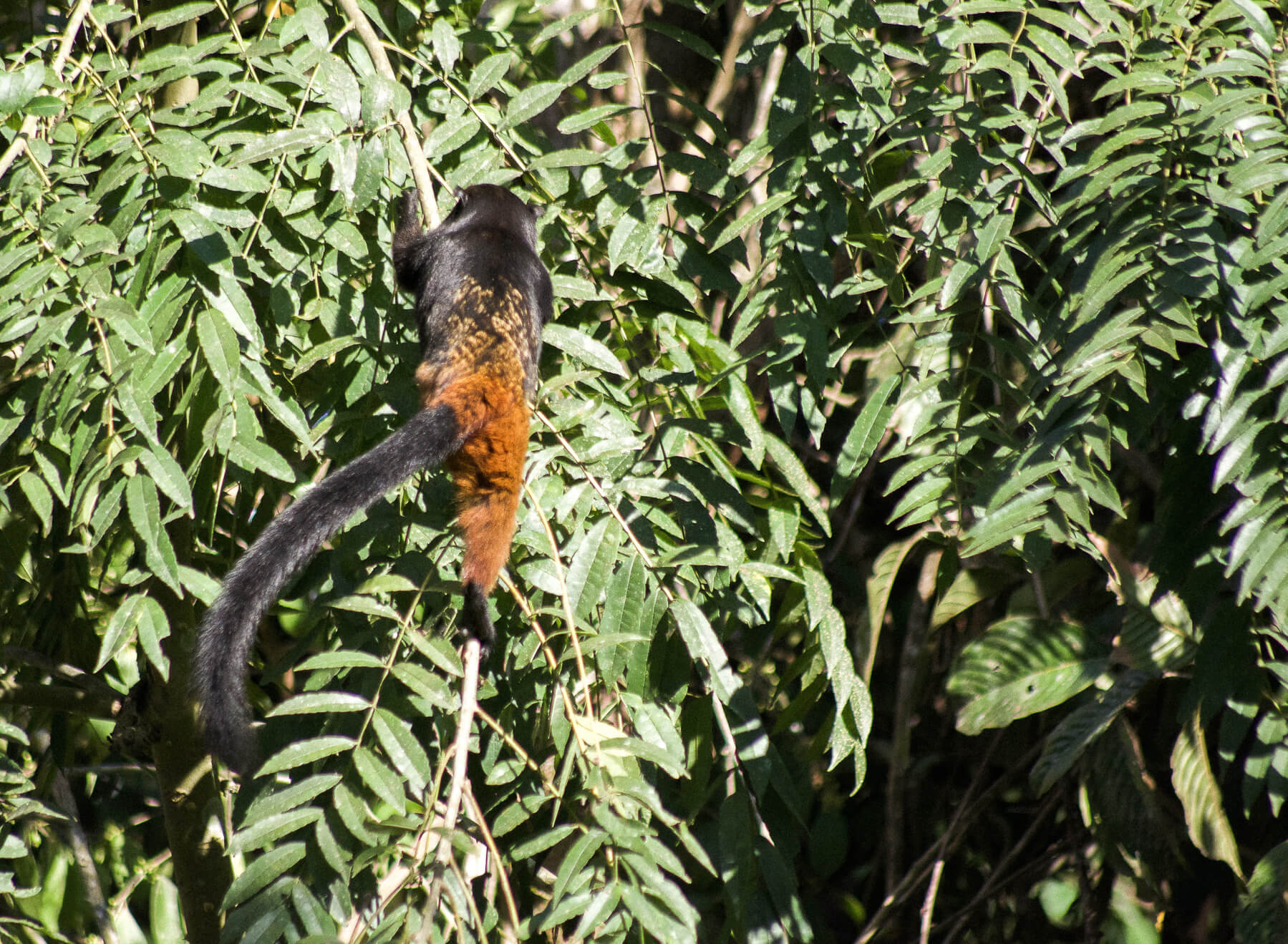 The back of a small black and brown Tamarin monkey climbing the side of a busy Amazon tree