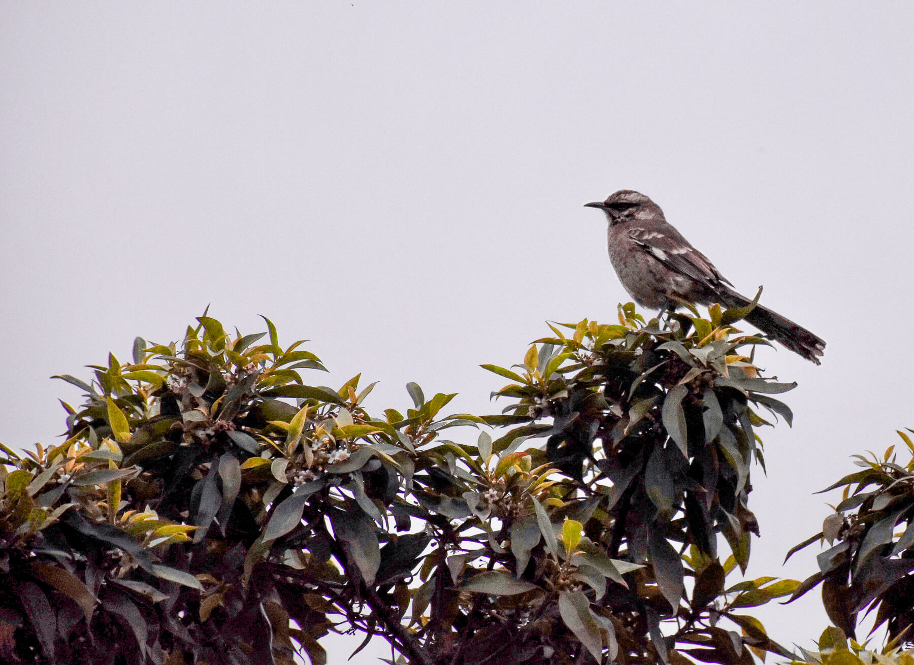 A small brown bird looking to the left while perched on top of a tree