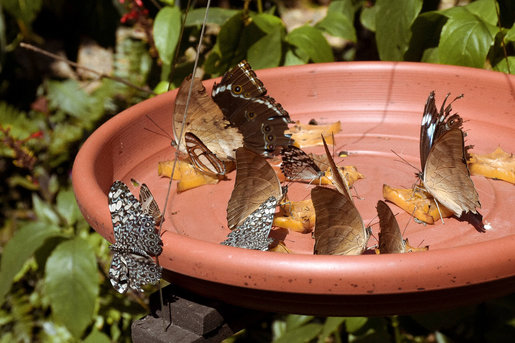 11 butterflies eating starfruit from a bright orange dish