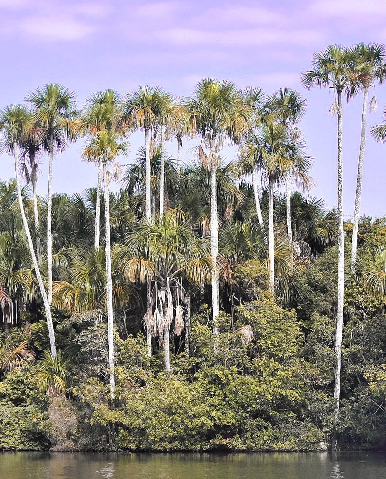 Tall Palm Trees surrounding Lake Sandoval in Peru