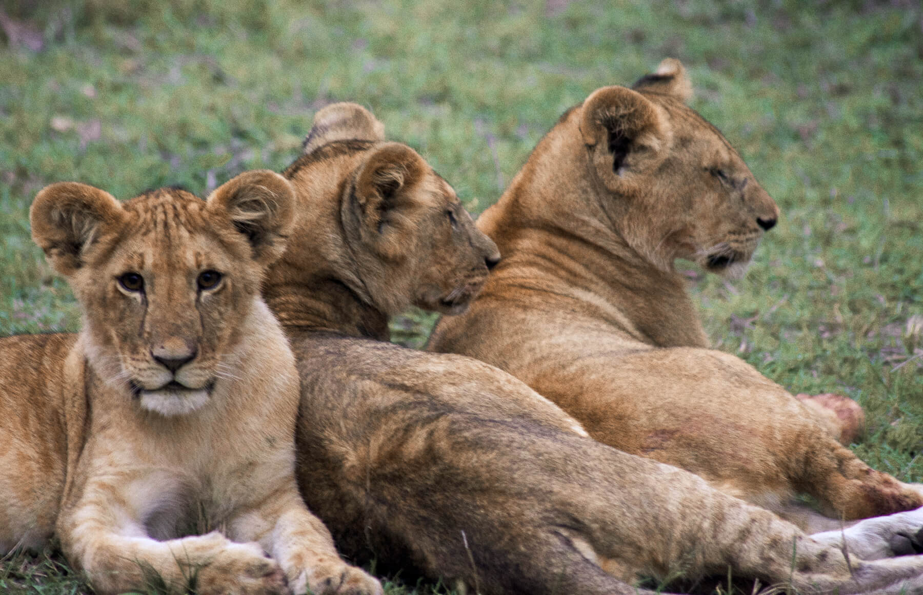 3 lion cubs cuddled up to each other - One looking into the camera
