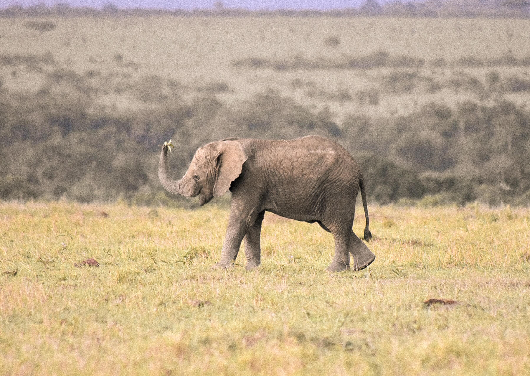 A baby elephant walking across the plains of the Maasai Mara holding a bunch of grass in his trunk