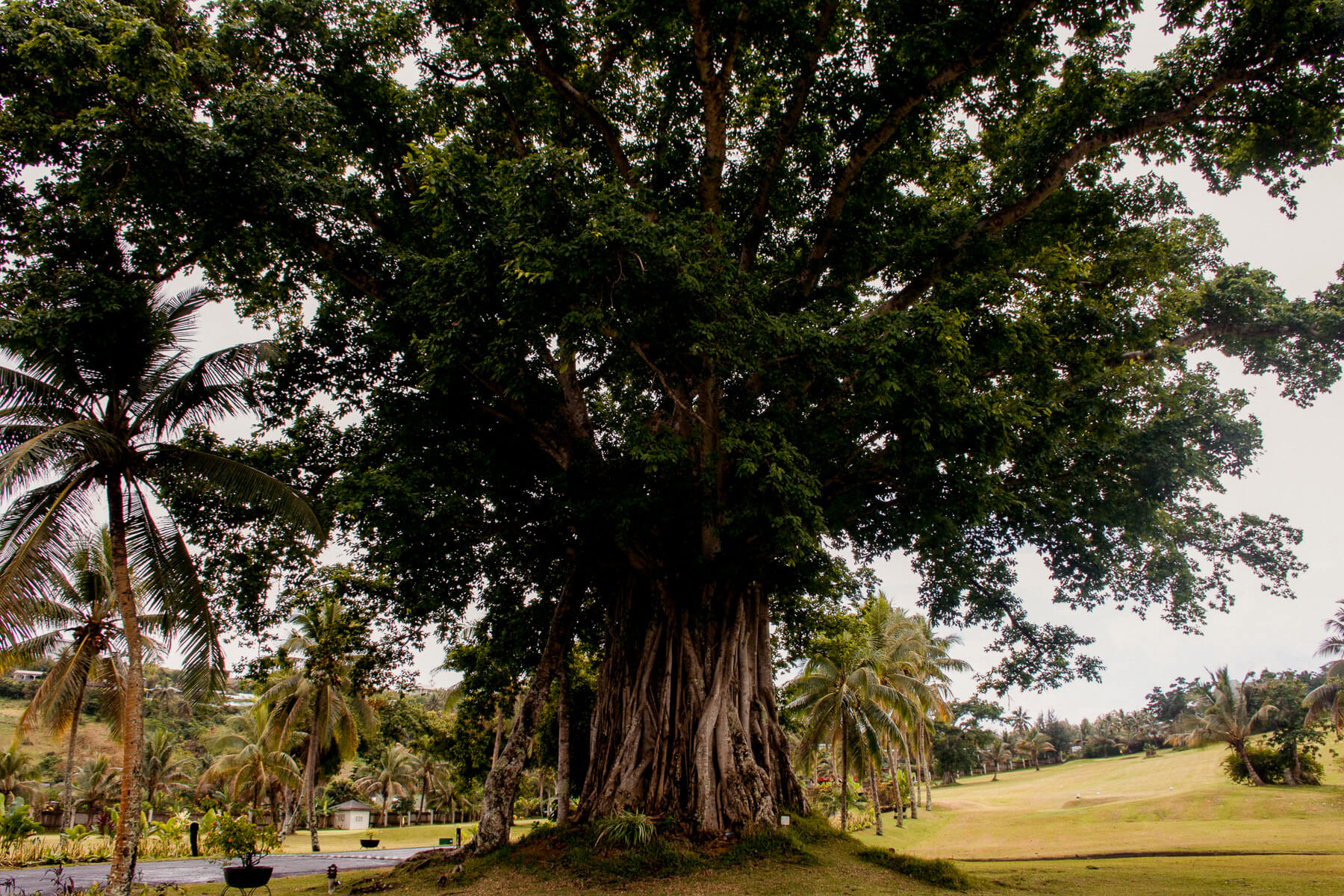A huge tree with giant roots at the Warwick Le Lagon resort golf course