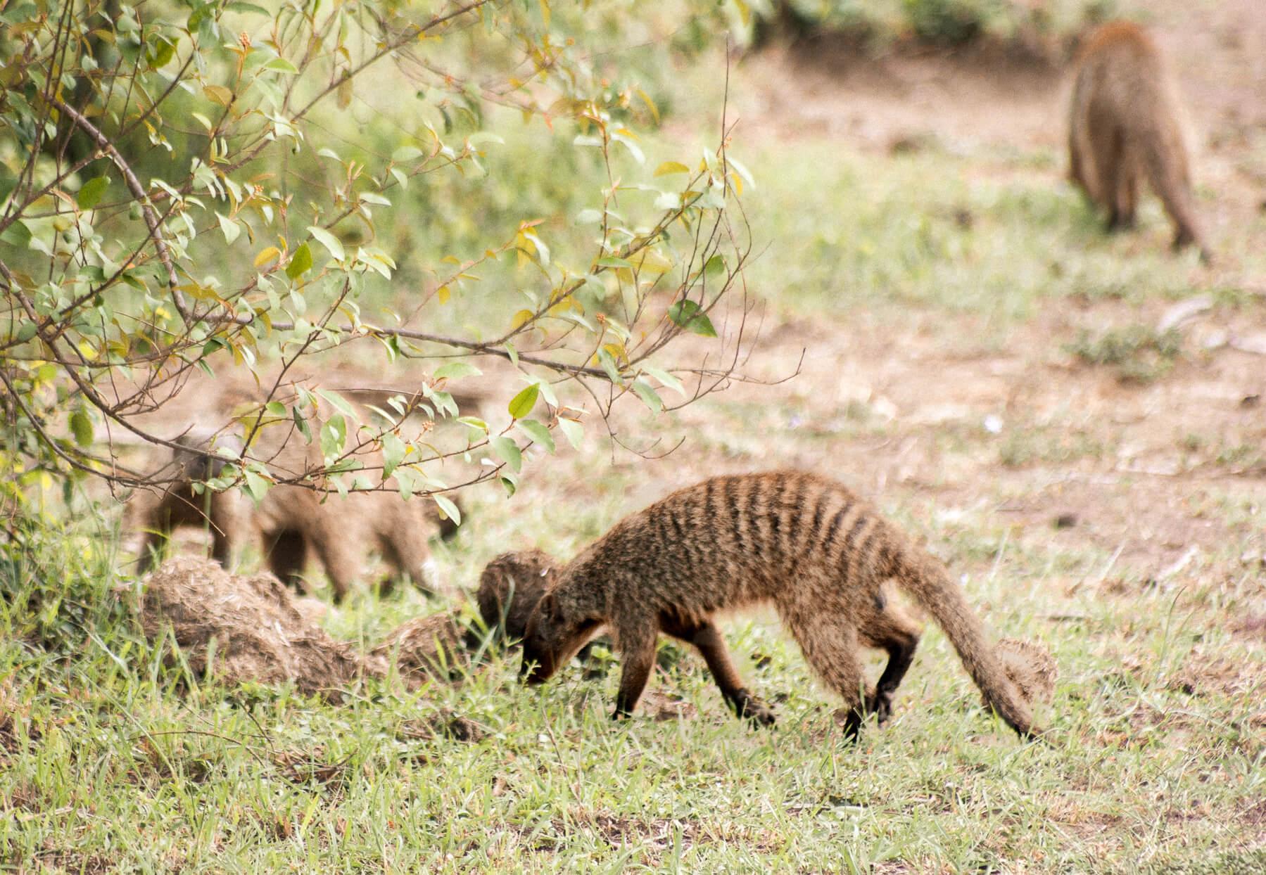 A group of mongoose walking towards a bush
