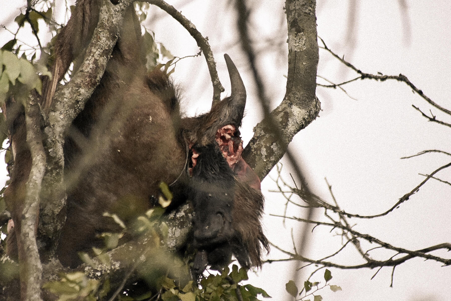 A dead wildebeest with it's eyes gauged out in a tree - Put there by a leopard