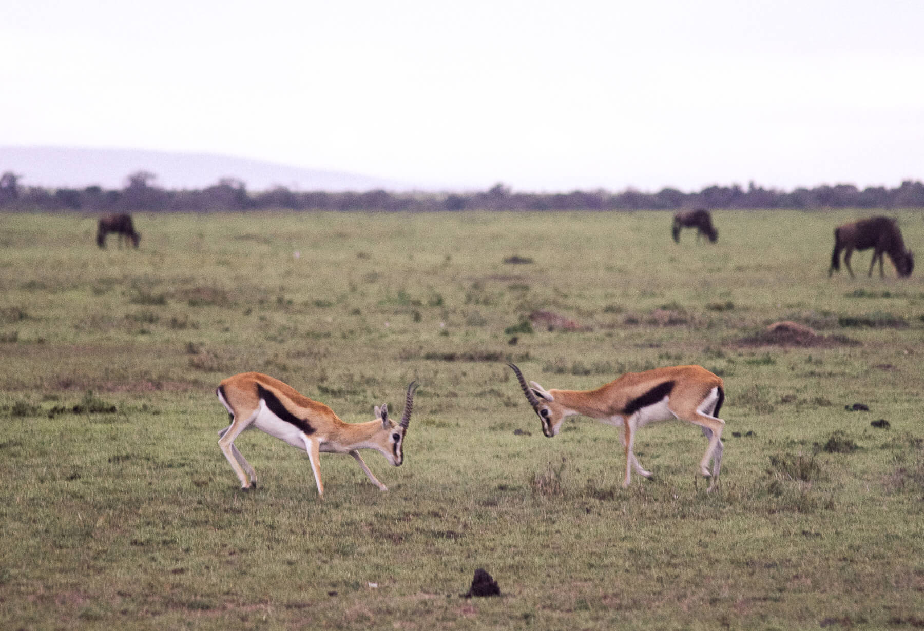 2 male Thomsons Gazelles fighting each other - About to headbutt