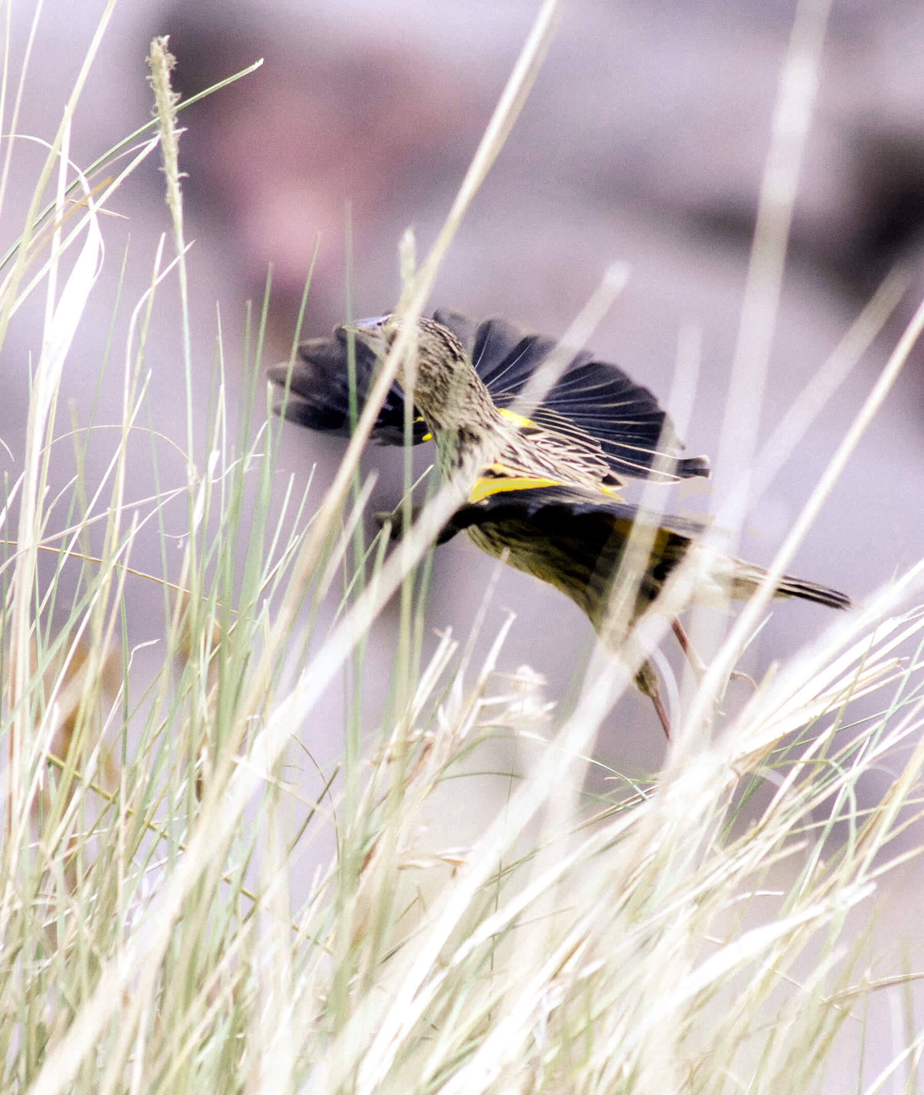 A brown swallow with bright yellow under its wings, taking flight from a reed