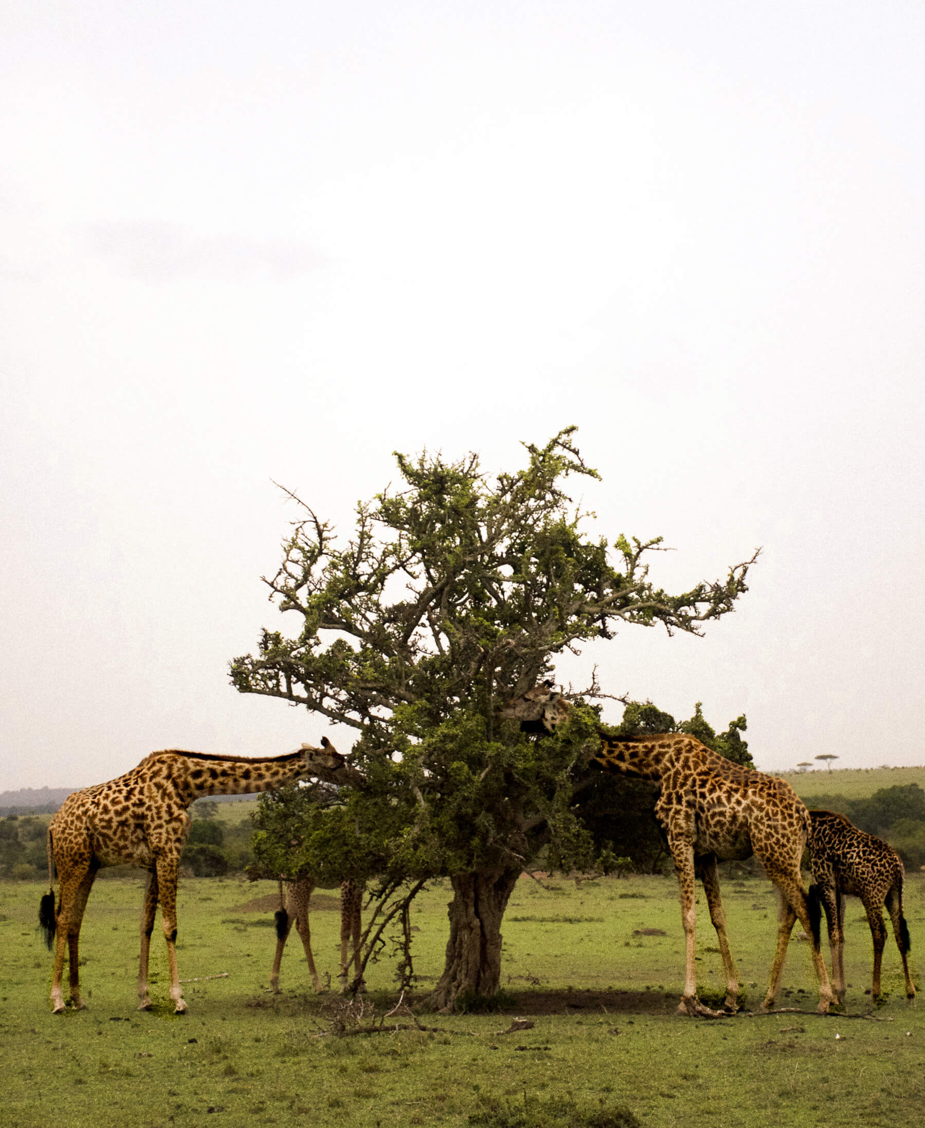 A group of 4 female giraffes eating a tree