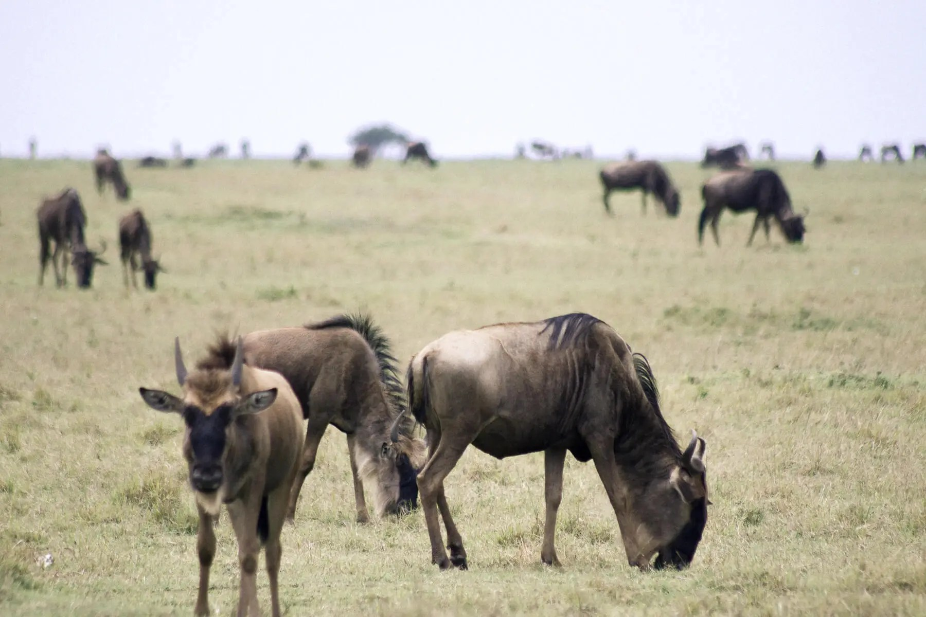 A group of wildebeest grazing in the Maasai Mara