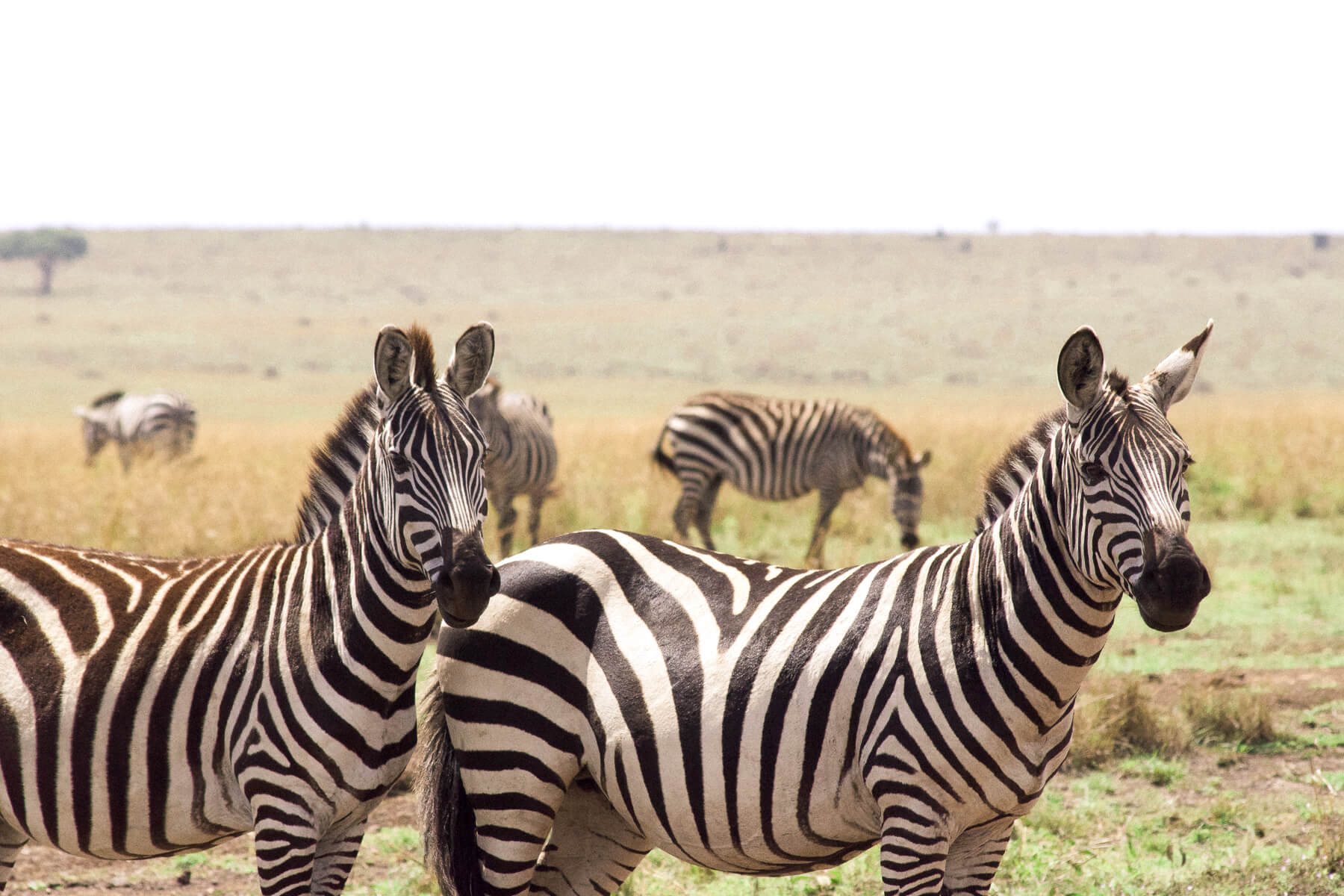 2 Zebras with their ears pricked in the Maasai Mara