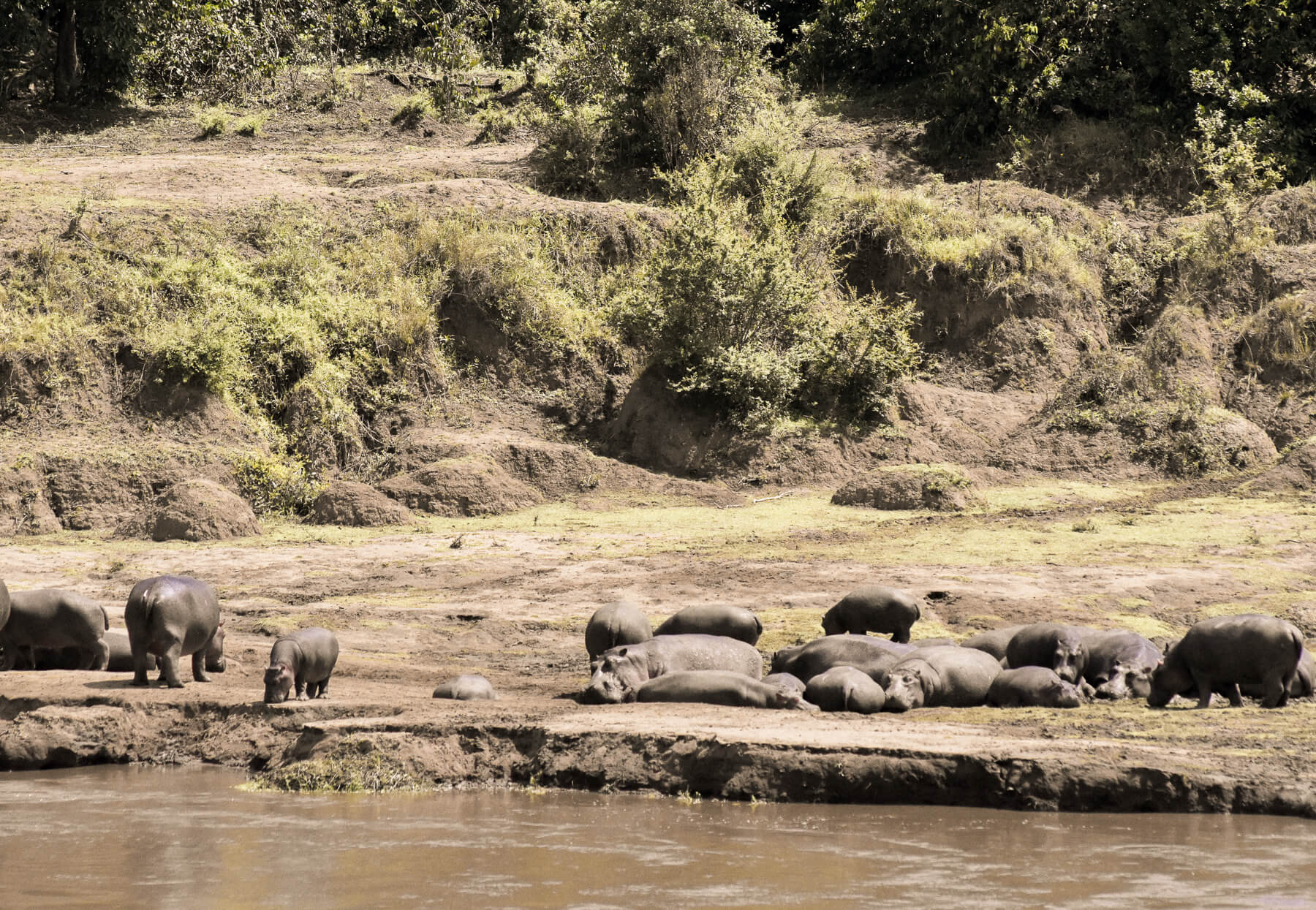 A huge group of hippos sleeping on the banks of the Mara River in the sunshine