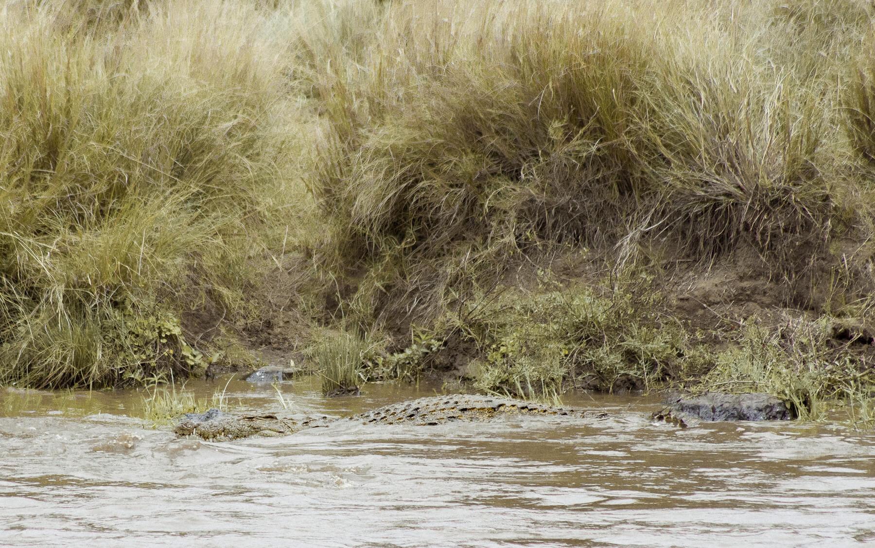 A huge crocodile resting in the Mara River, Kenya