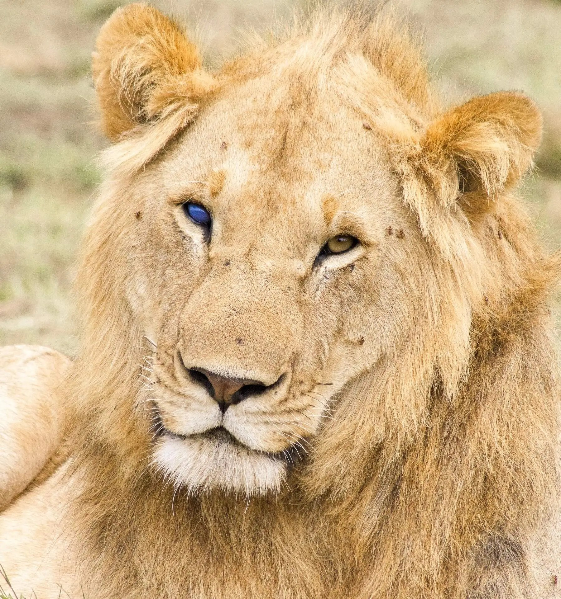 A beautiful male lion looking at the camera with different coloured eyes. One yellow, one completely blue (blind in one eye)