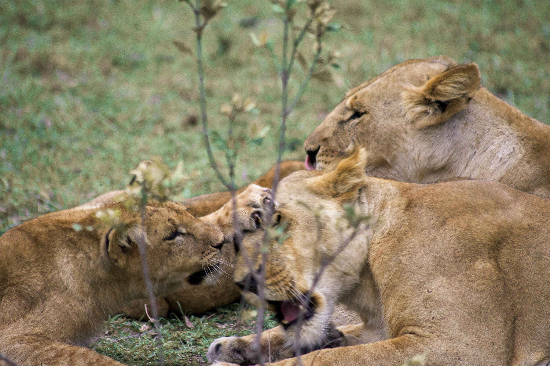 A lion pride playing on the grass - A baby hitting his mother in the face
