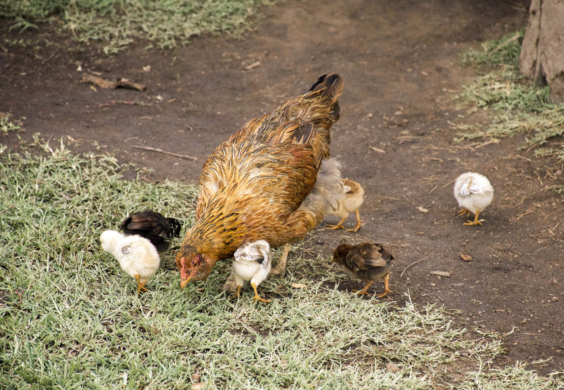 A hen and her 6 chicks eating grass in the Maasai village