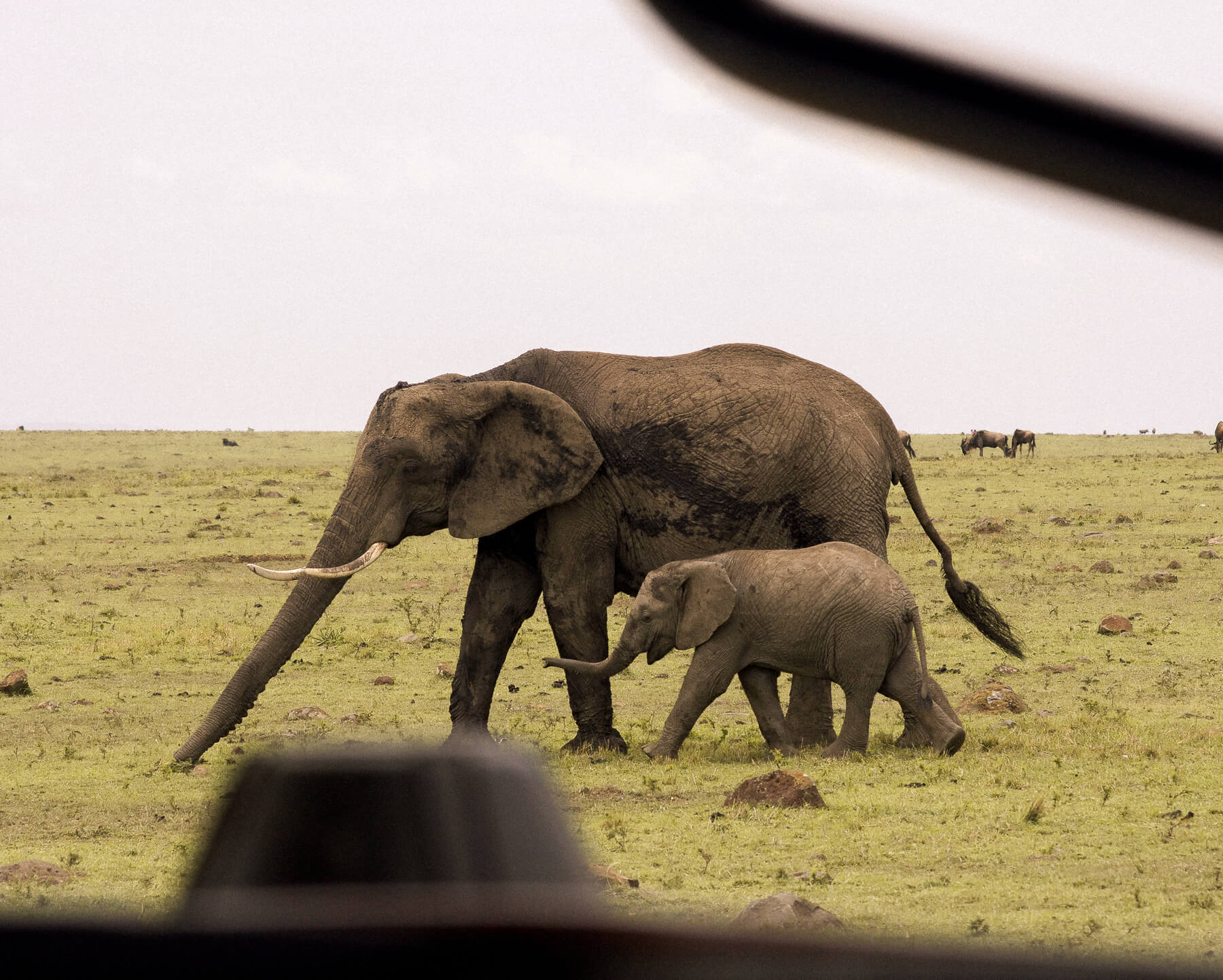 A mother elephant and her baby walking across the Mara - Viewed through the bars of a safari car