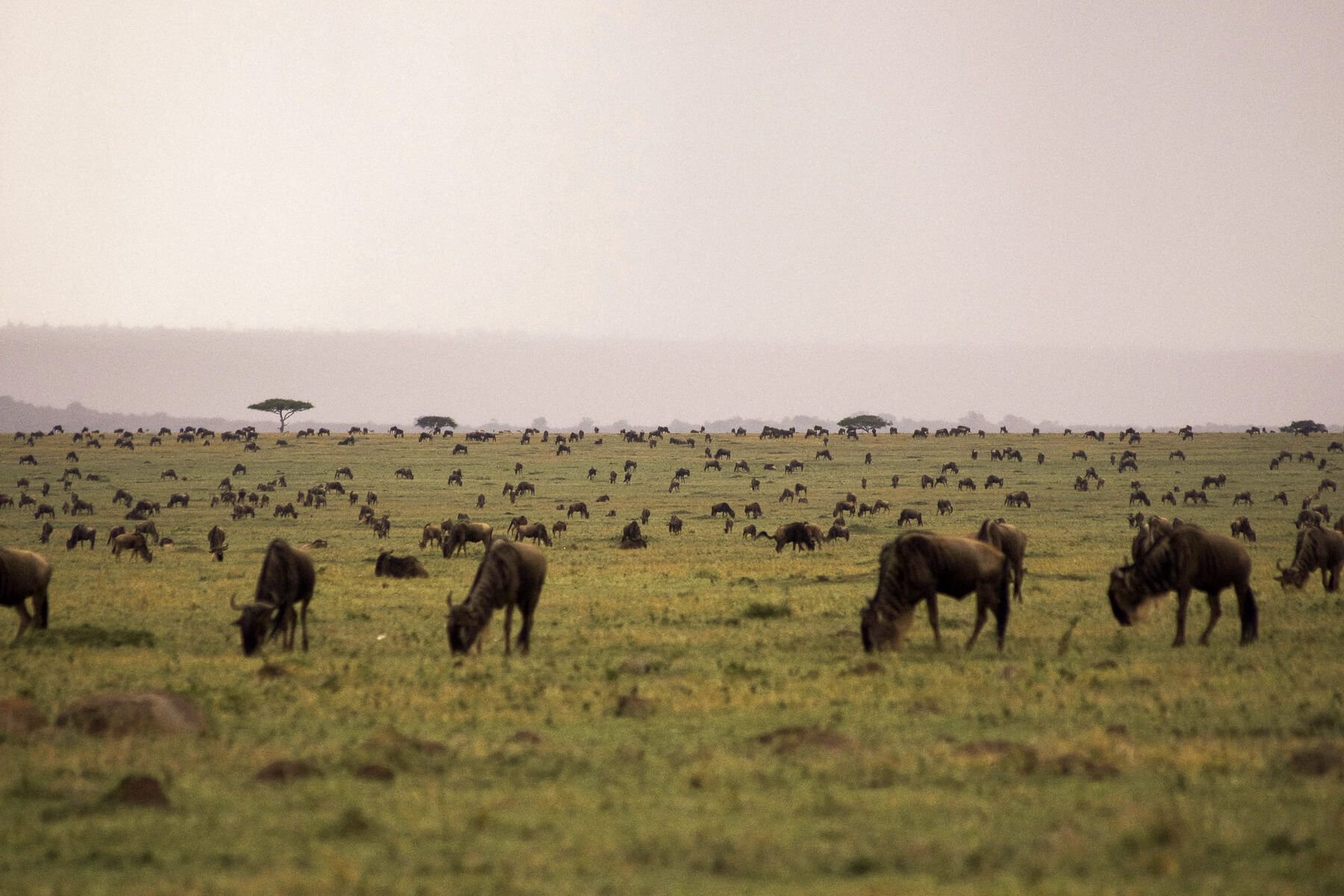 Thousands of Wildebeest during the Great Migration