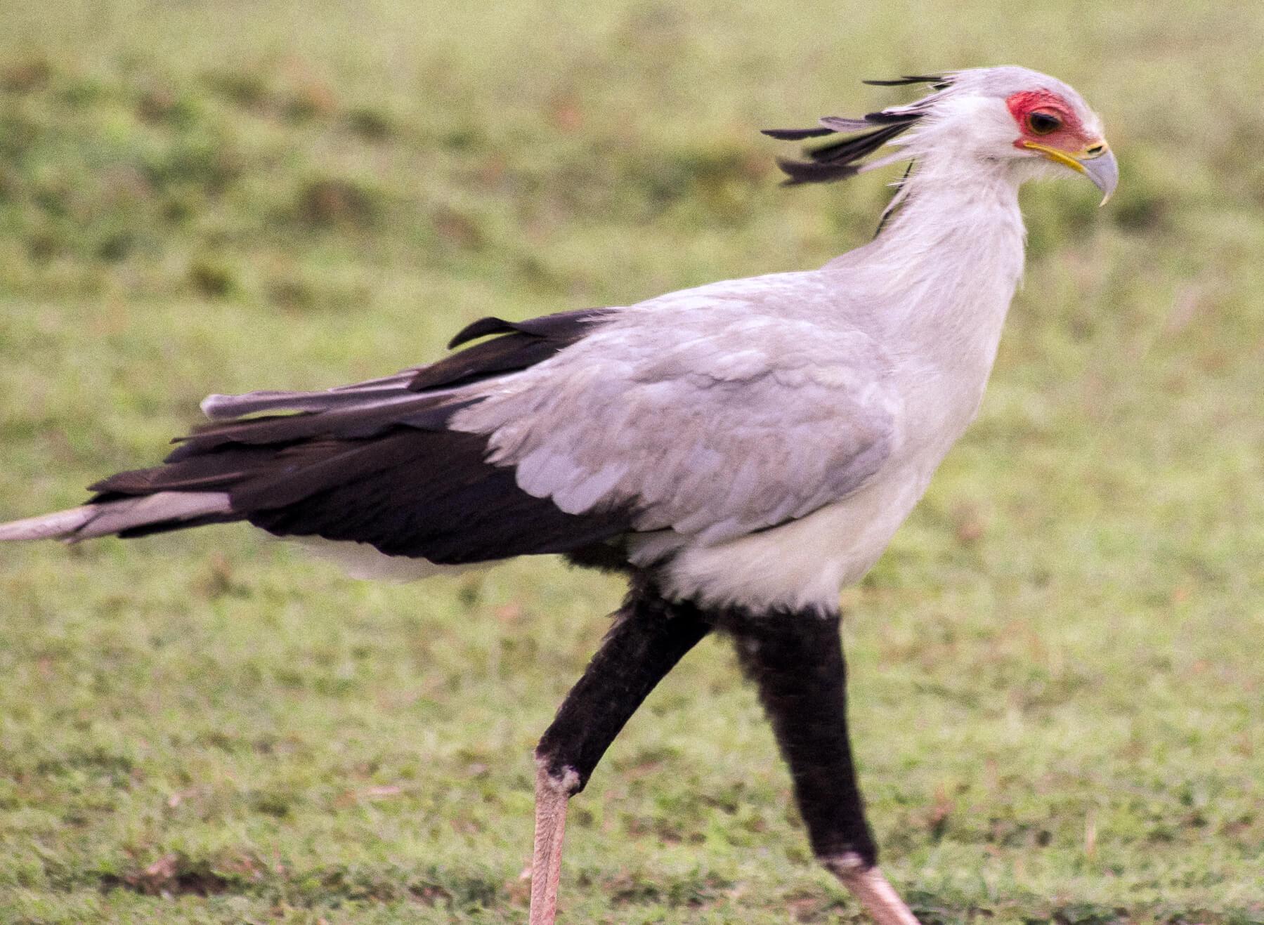 A big white Secretary bird walking in the Maasai Mara with red eyes, yellow beak and LONG black legs