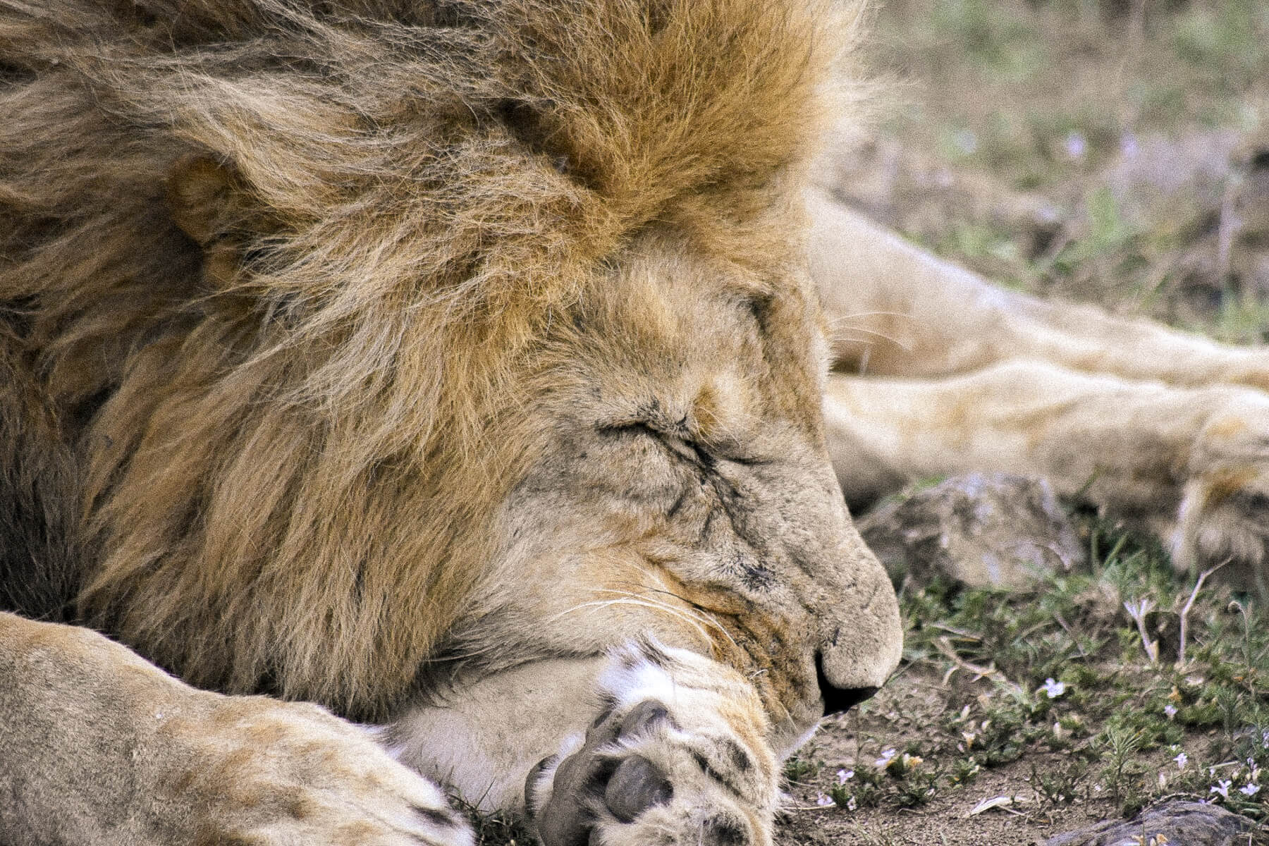 A male lion sleeping with his face squashed up against his leg
