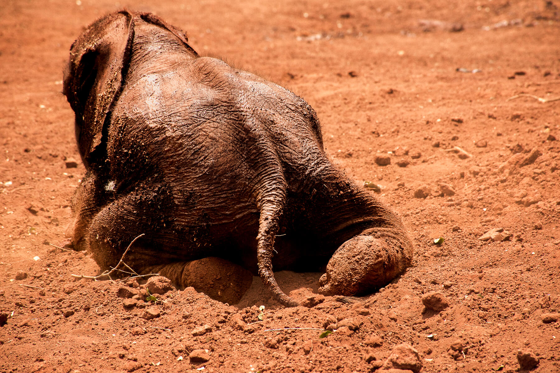A young elephant laying in the first with its back legs stetted behind it
