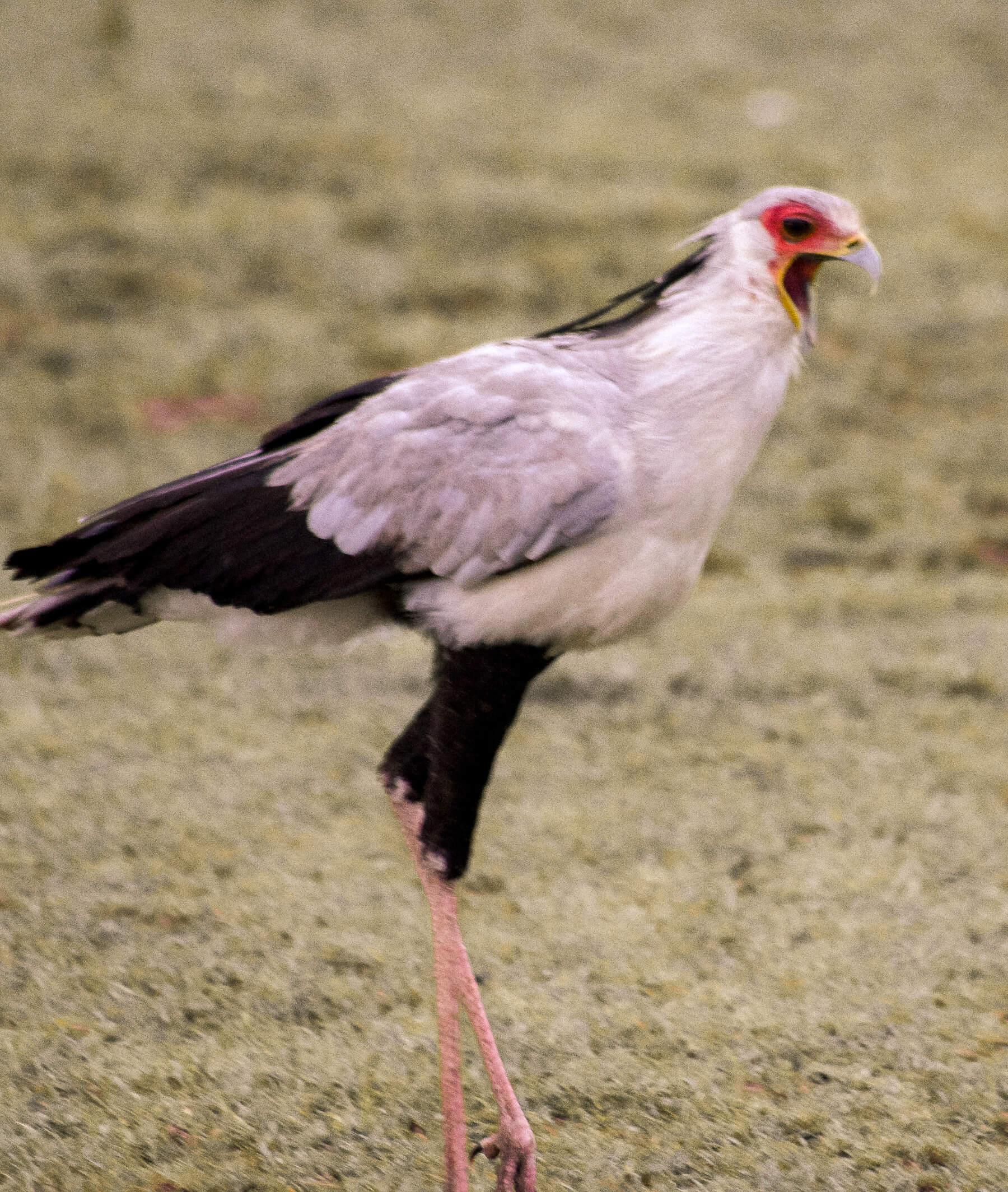 A secretary bird walking and squawking!