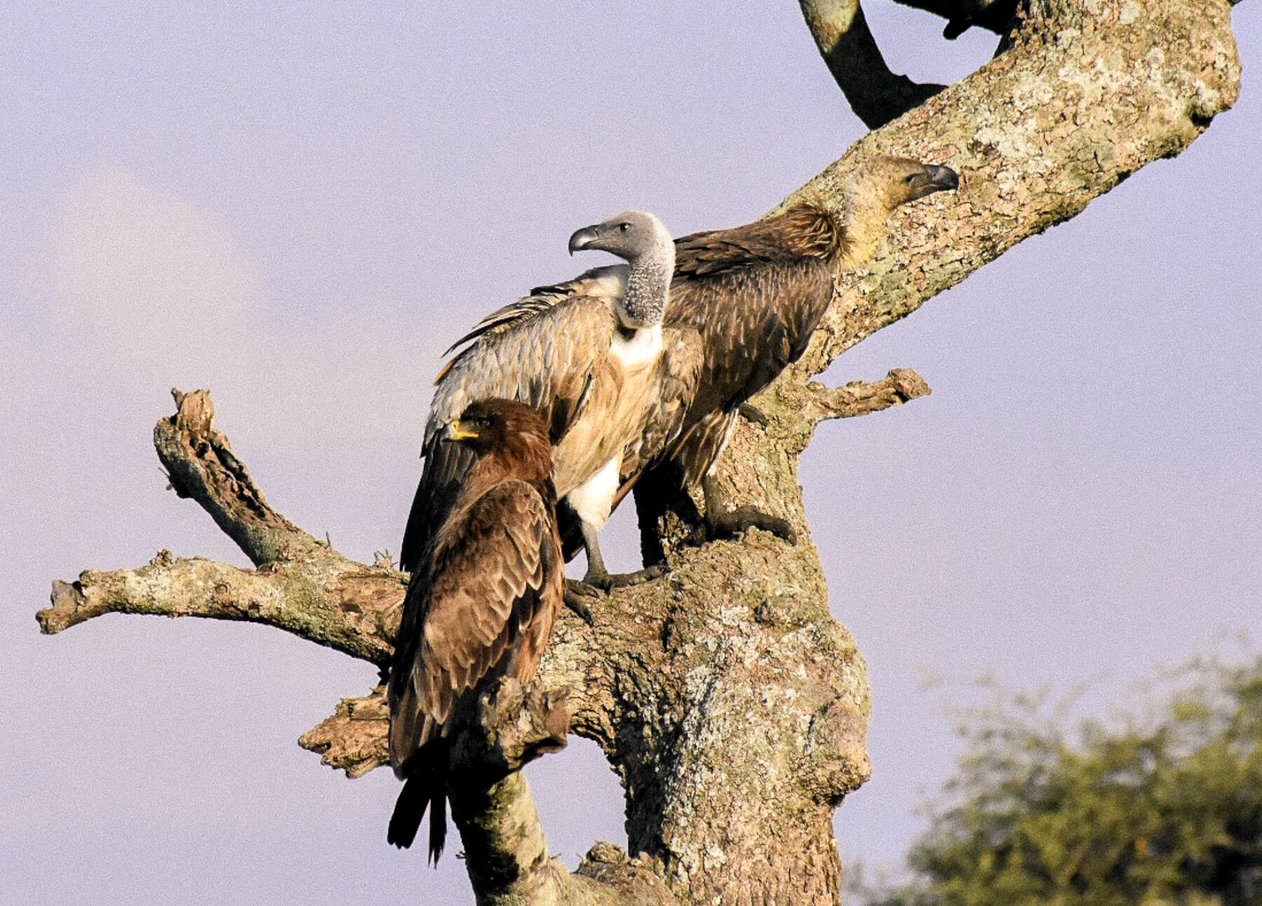 2 vultures and an eagle perched on a bare tree trunk