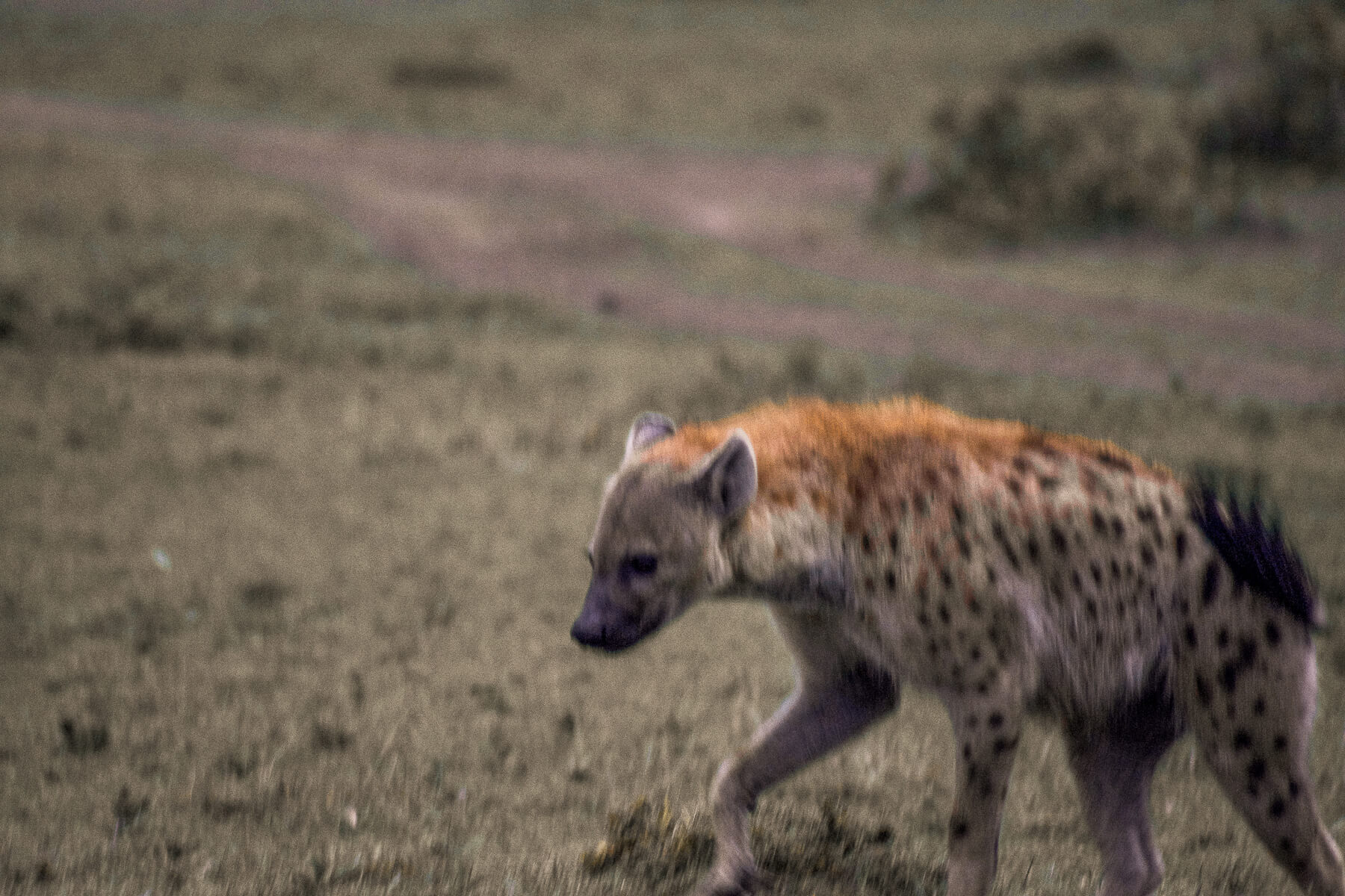A blurry spotted hyena walking in the Maasai Mara and swishing his tail