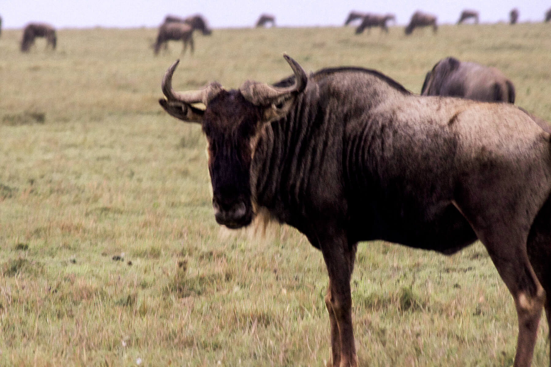 Close up of a big Wildebeest looking towards the camera with his herd behind him