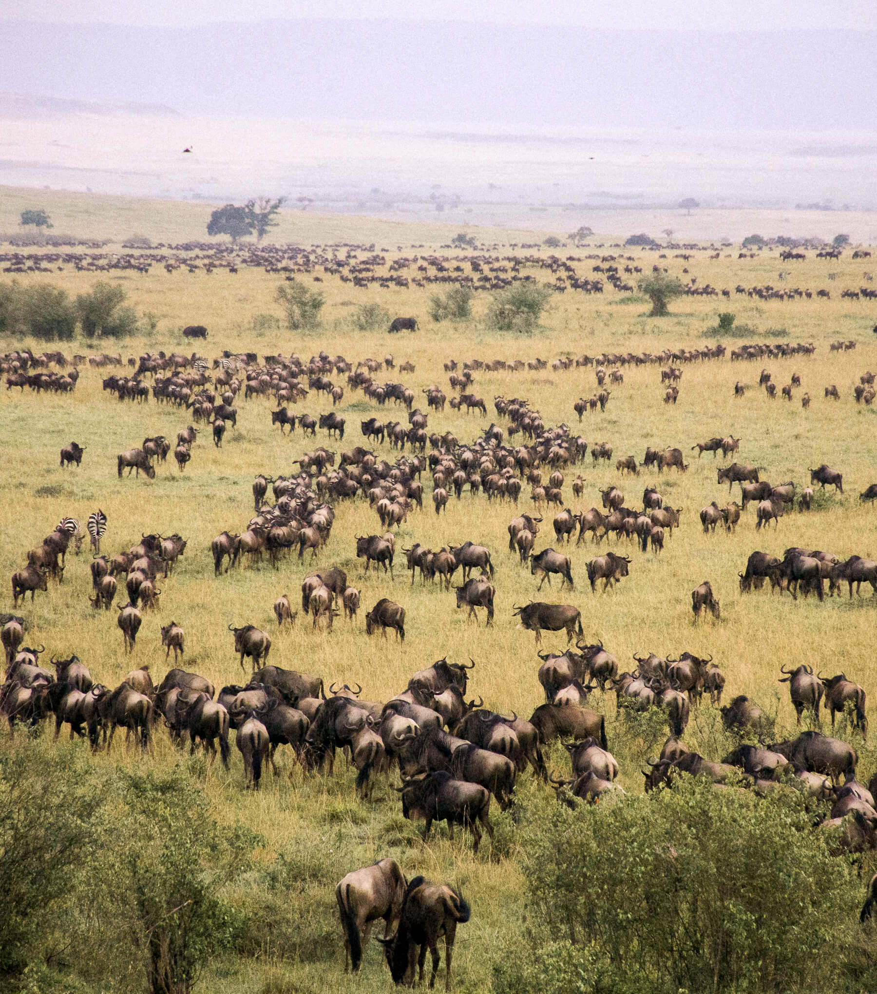 Thousands of wildebeest migrating in lines through the Maasai Mara - View from a hot air balloon