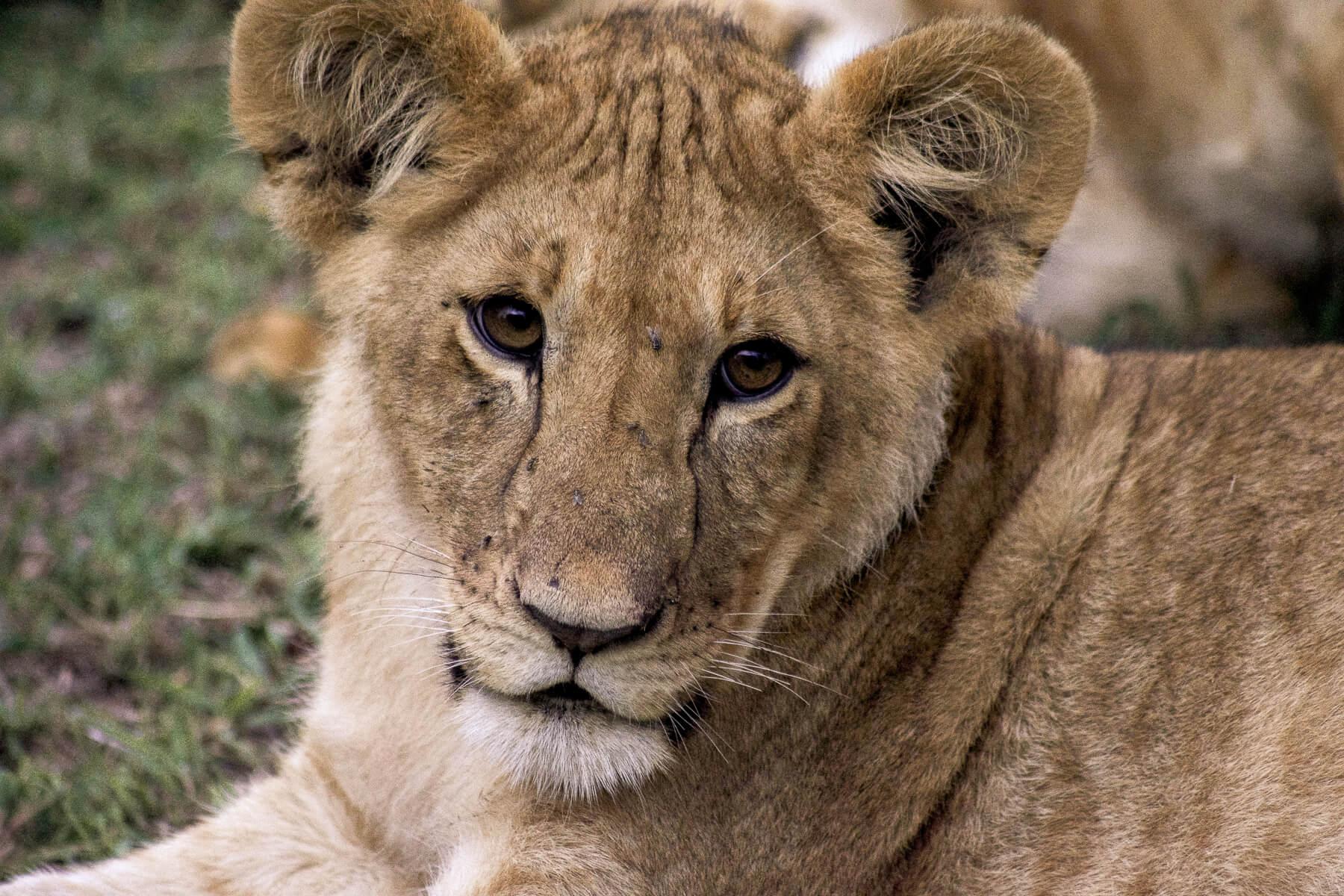 Close up of a Lion Cub in the Maasai Mara