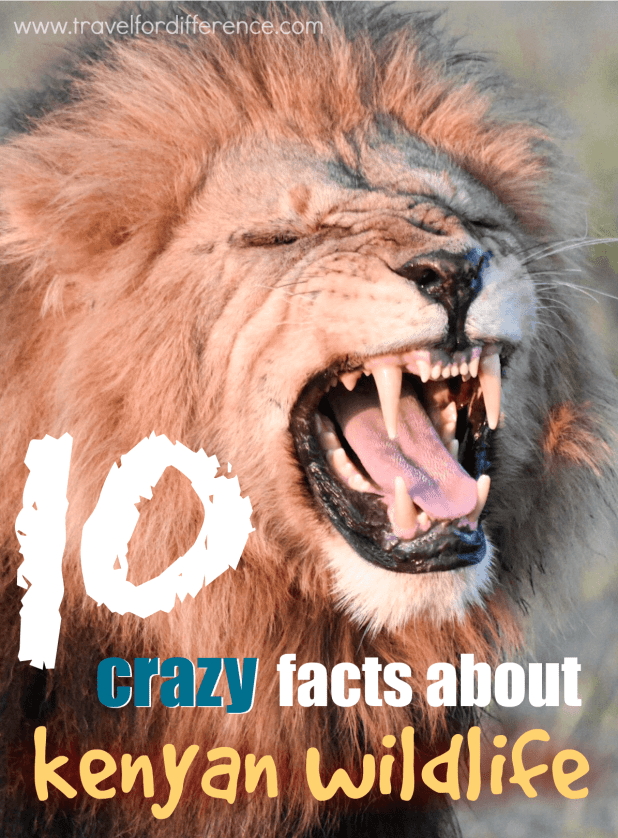 10 CRAZY animal facts about Kenyan Wildlife - (Kenya Facts)