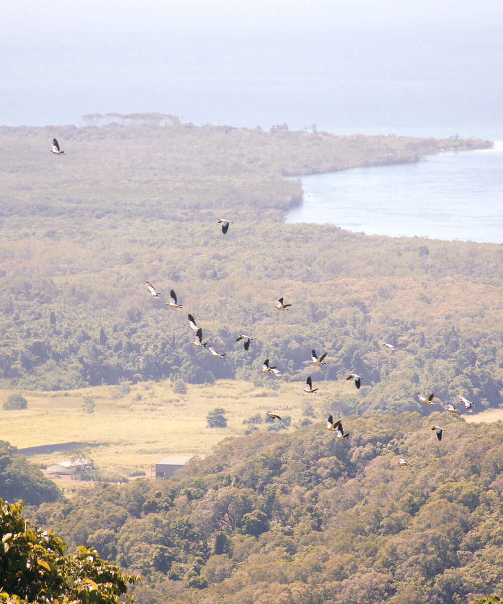 Flock of birds flying over Cape Tribulation and Daintree Rainforest