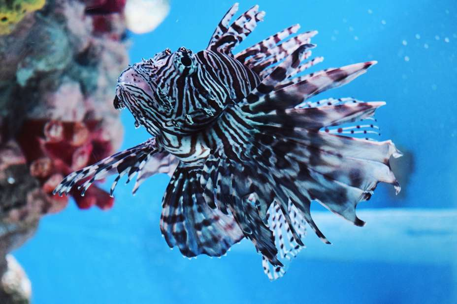 Close up of a stripey LionFish