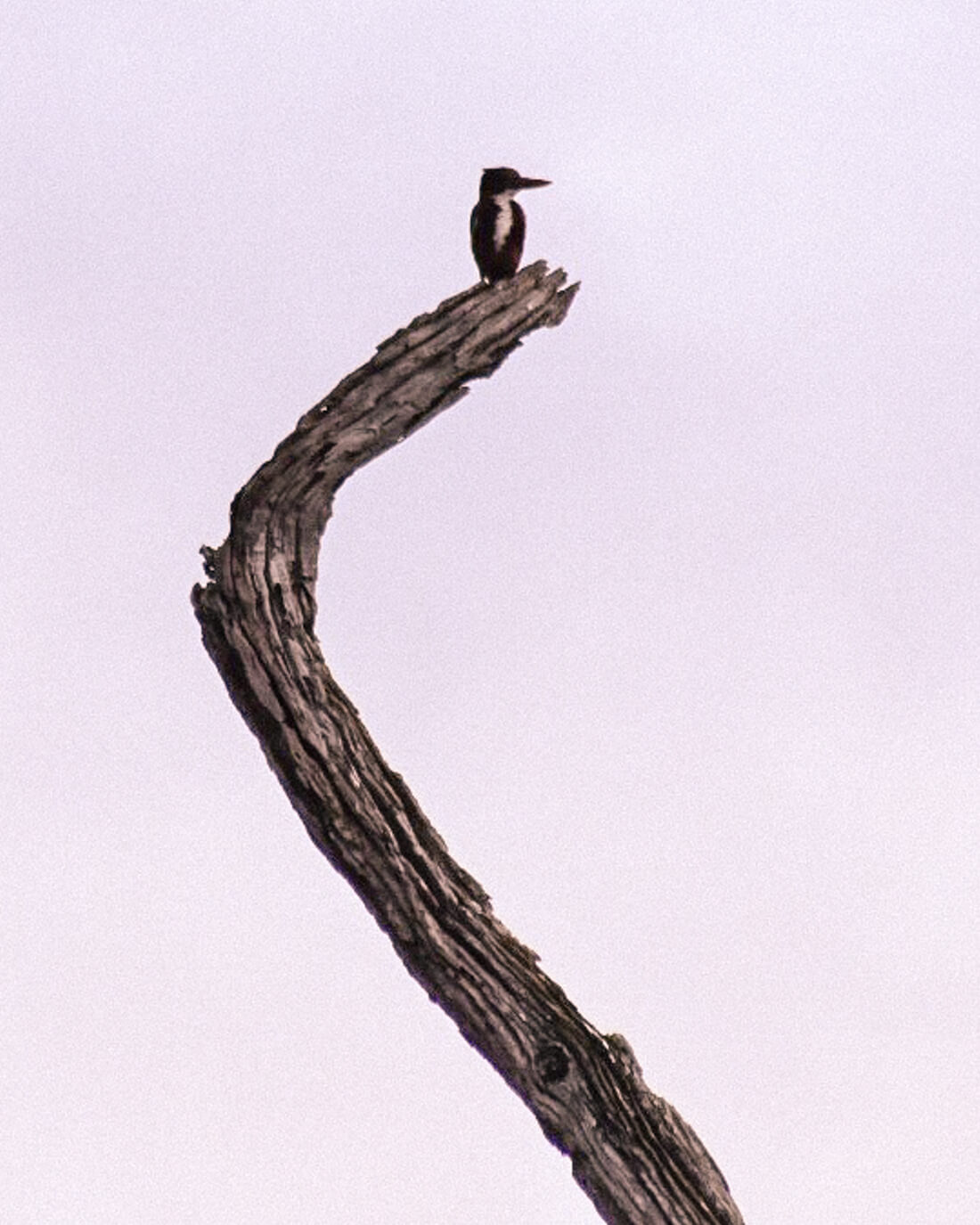 A black kingfisher resting on a dead branch