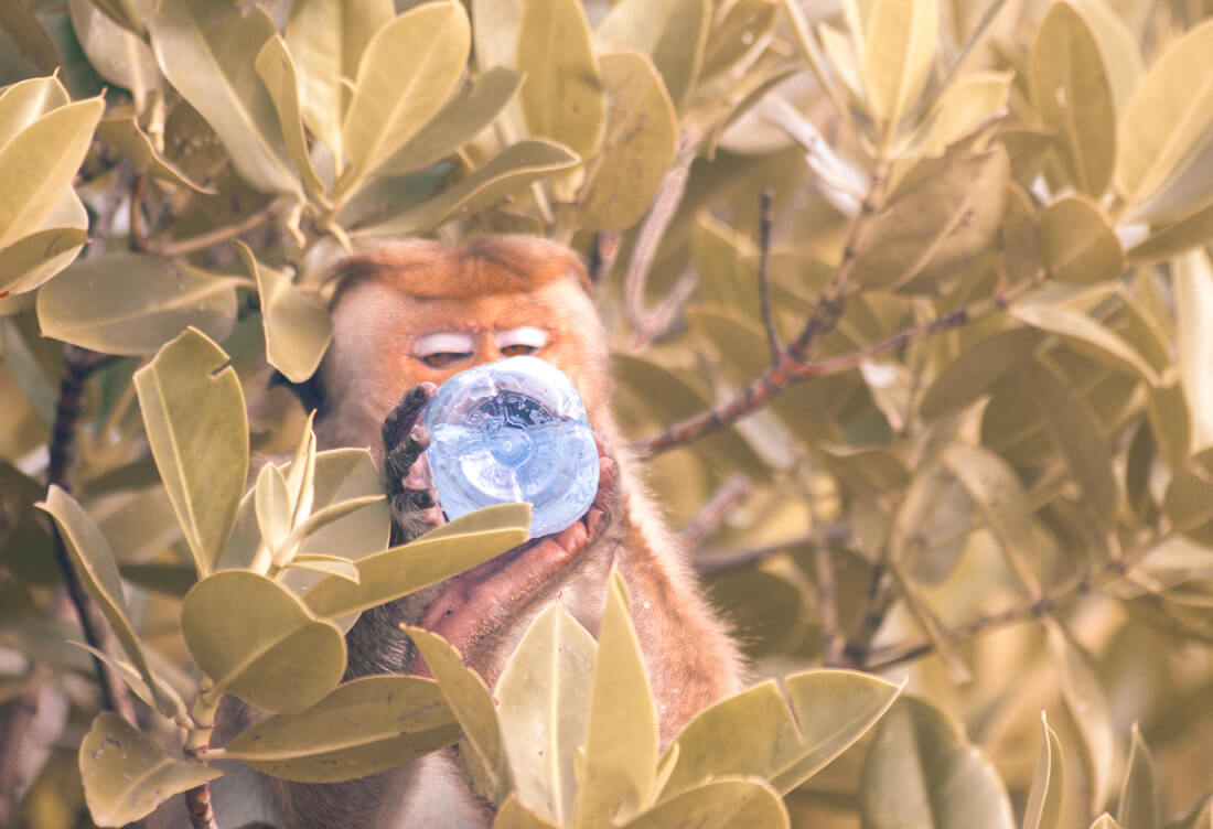 Toque Monkey sitting in tree drinking bottled water