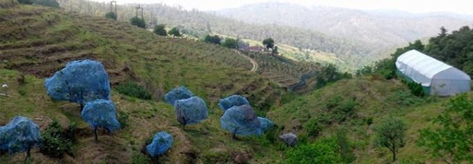 Chaubatia-Orchard