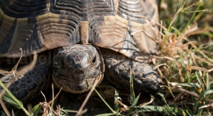 Broasca ţestoasă dobrogeană (Testudo graeca ibera) - Muntii Macin