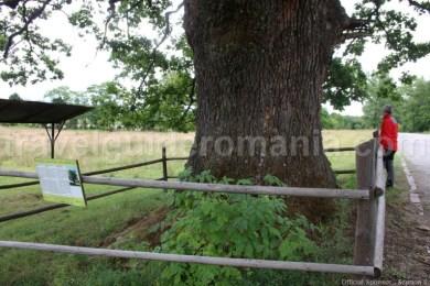 Stejarul secular de la Remetea - monument al naturii