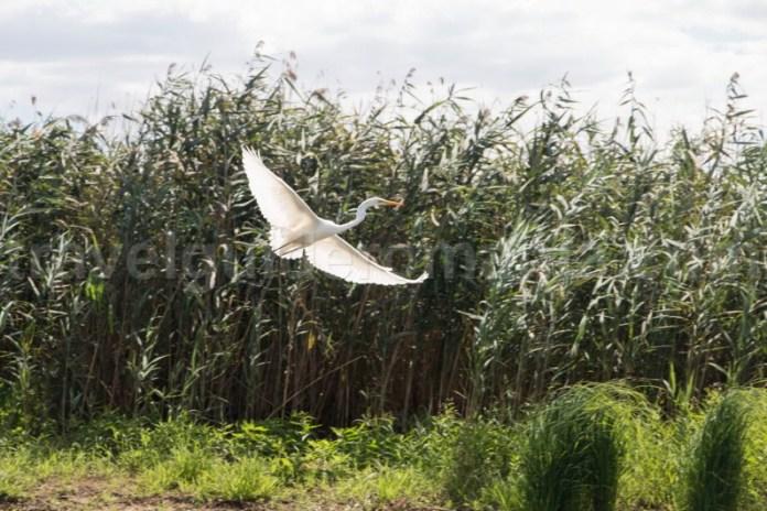 egreta-mare-in-delta-dunarii-arie-speciala-de-protectie-avifaunistica